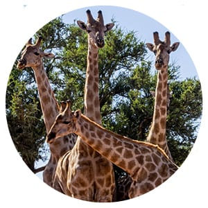 a photo of a group of giraffes