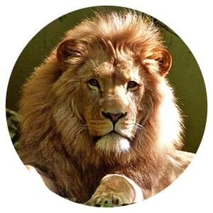 a photo of a lion